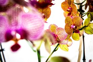 How_to_Care_for_Orchids