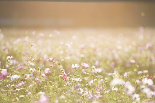 field_of_pink_flowers